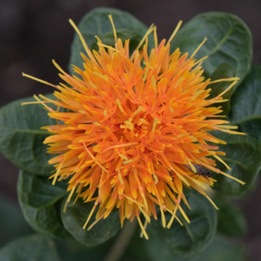 Saffloer<strong>Saffloer is een plant die natuurlijke vitamine E bevat en hydraterende, verzorgende eigenschappen heeft.</strong>