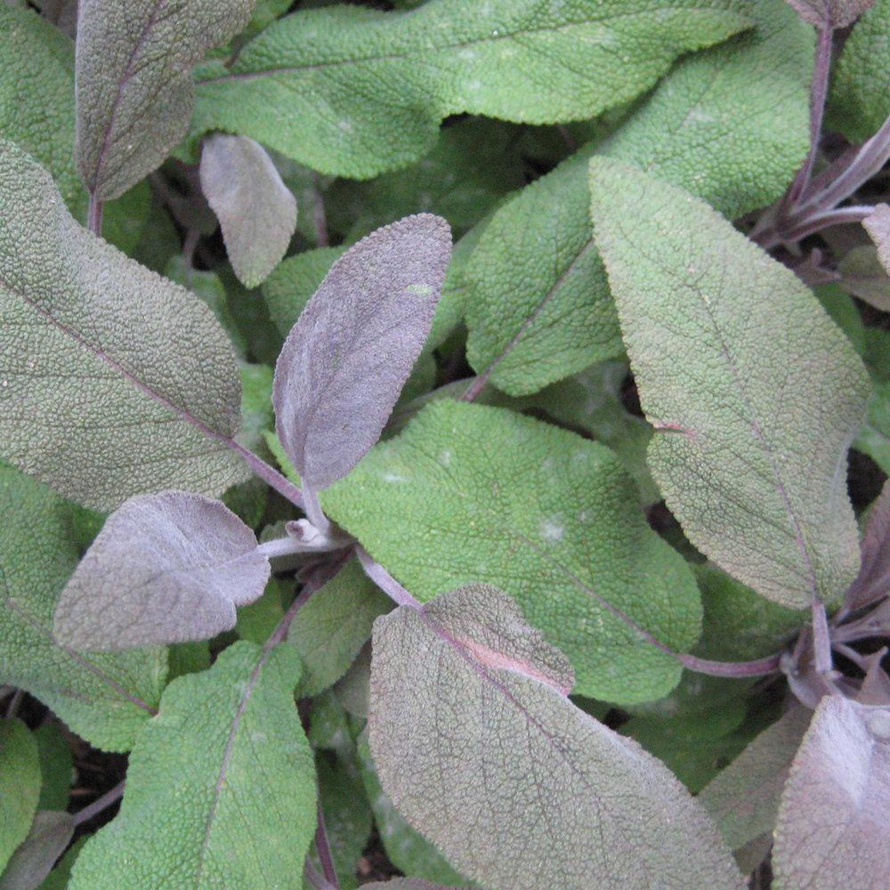 Salie<strong>Salie is een kruid, rijk aan antioxidanten, vertraagt het verouderings- proces en is een PH neutralisator.</strong>