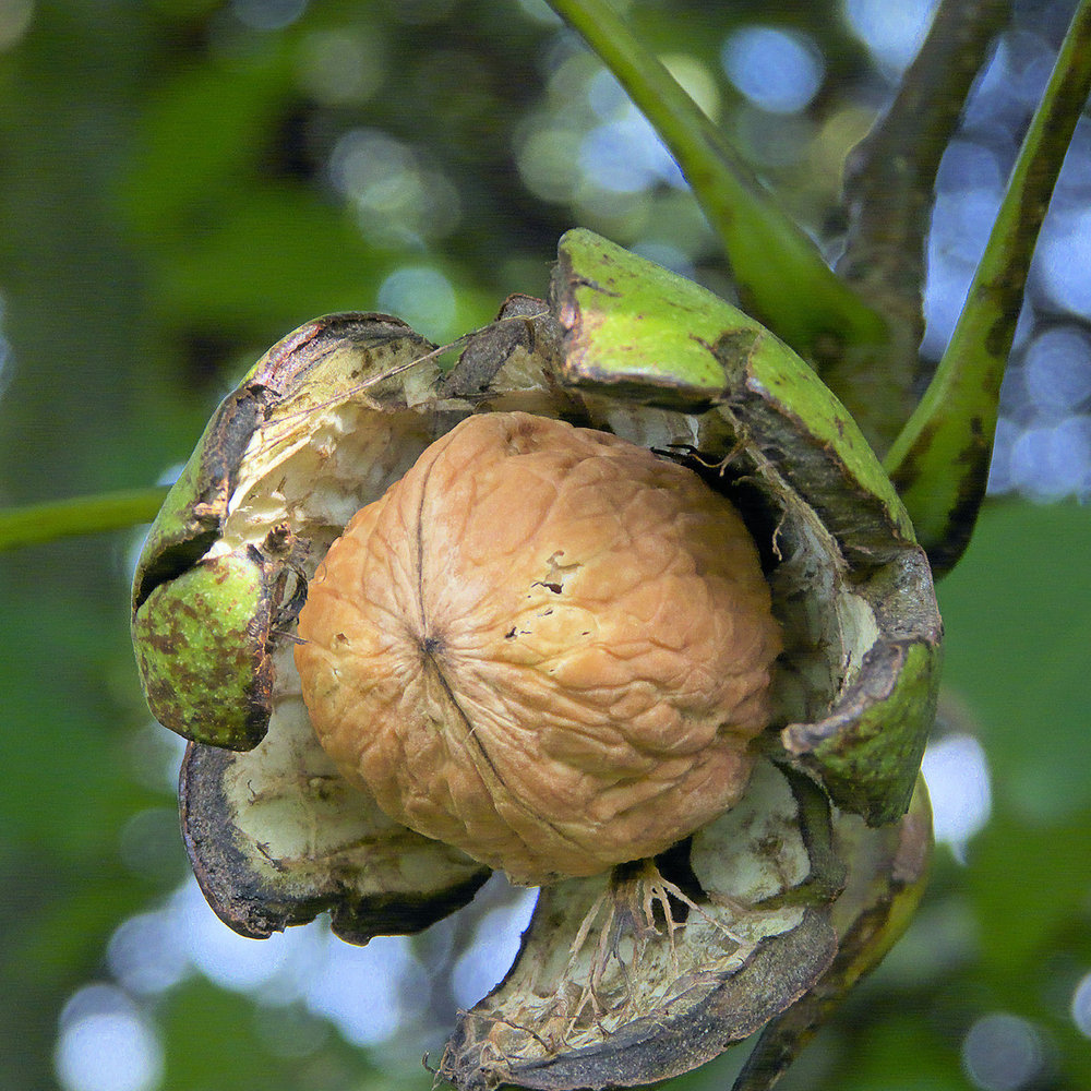 Walnut<strong>Walnut is healing, anti-aging and rich in antioxidants.</strong>