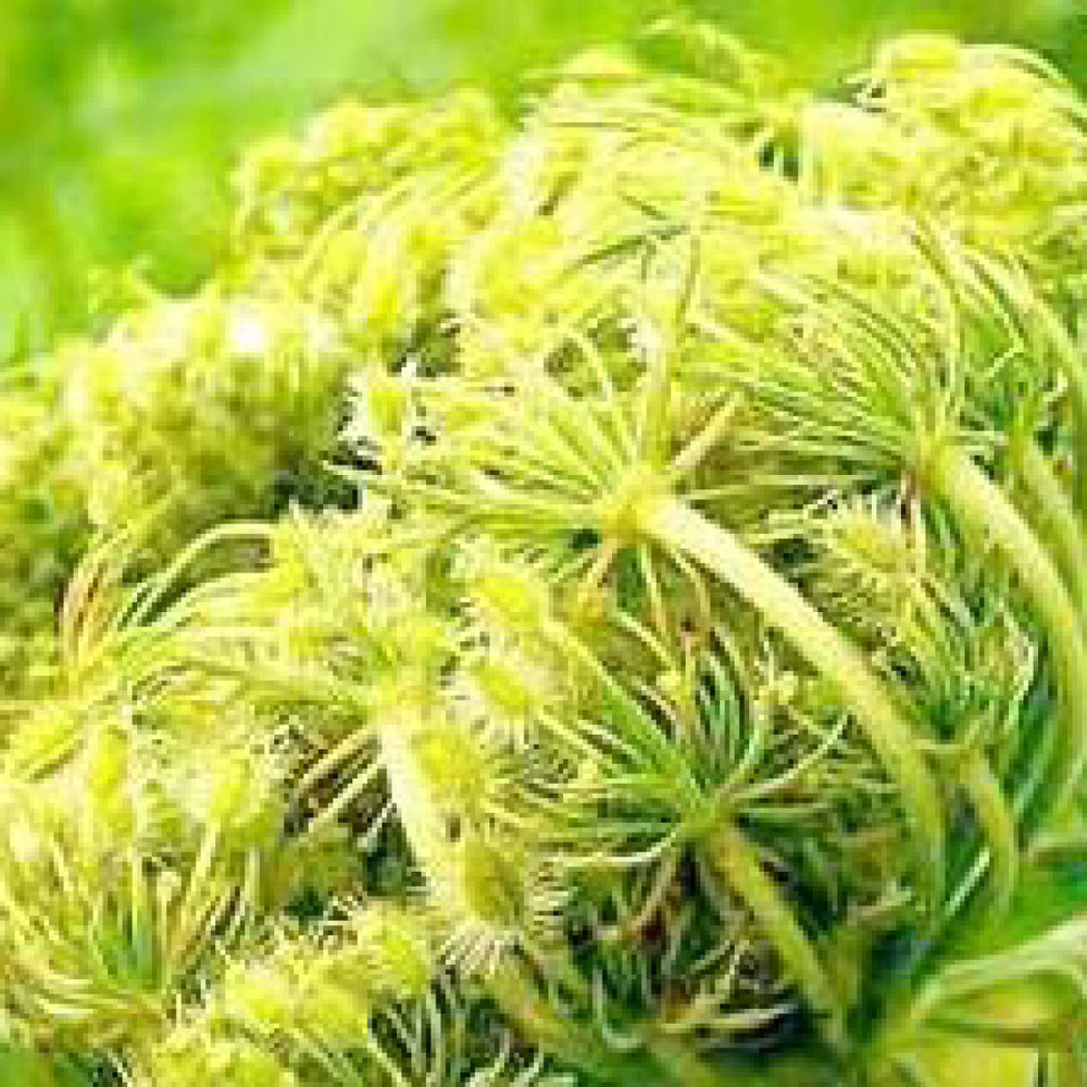 Wortelzaad<strong>Wortelzaad is rijk aan betacaroteen, vitamine B, C, D en E en beschermt het haar tegen externe schadelijke invloeden.</strong>