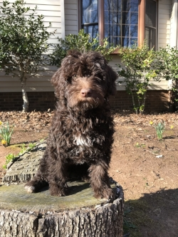 Figgy is also a F1B Labradoodle and has a soft and curly coat