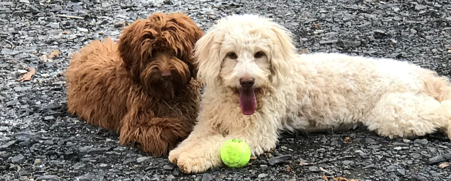 Brown's Labradoodles