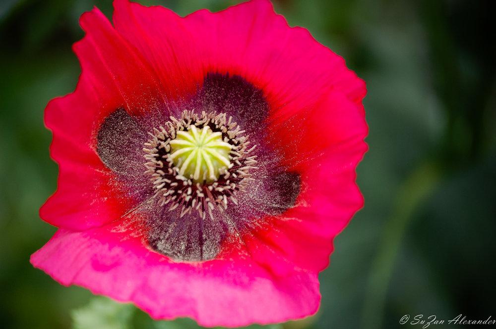Red-Poppy-1.jpg