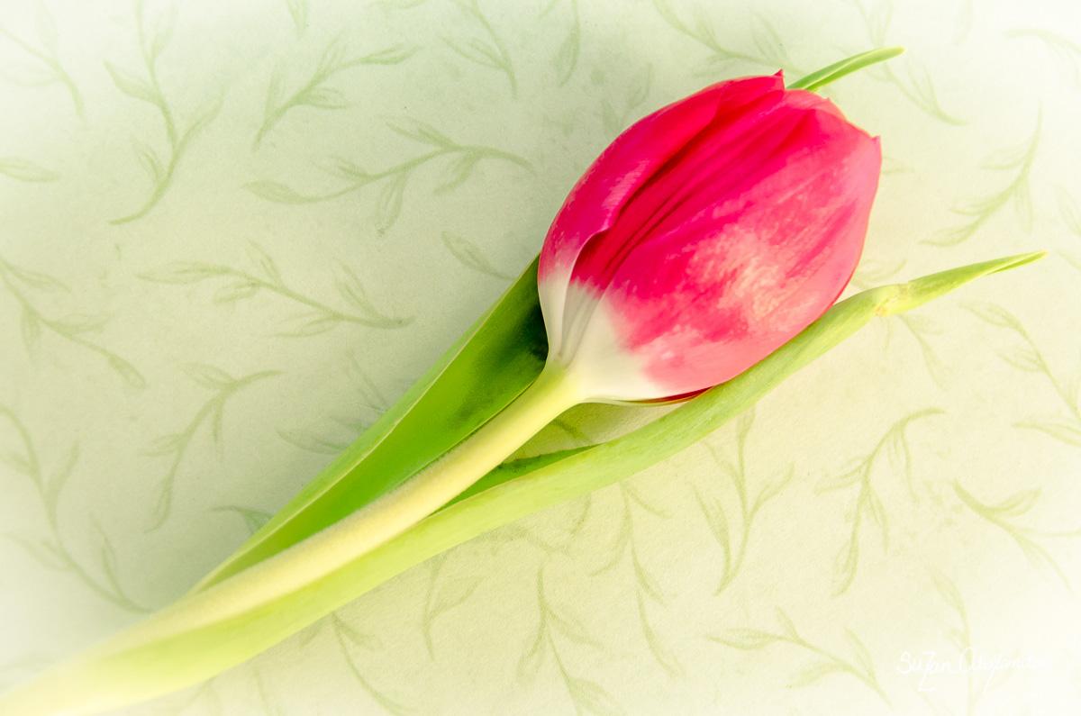 Tulip on Green
