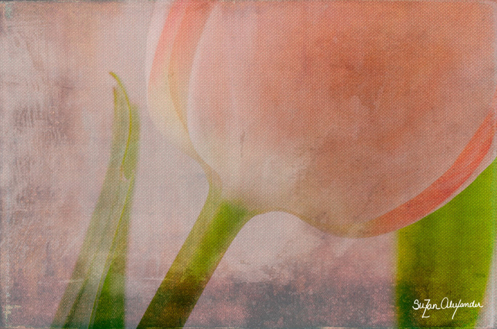 © 2013 SuZan Alexander,  Tulip with Texture . Digital Photography