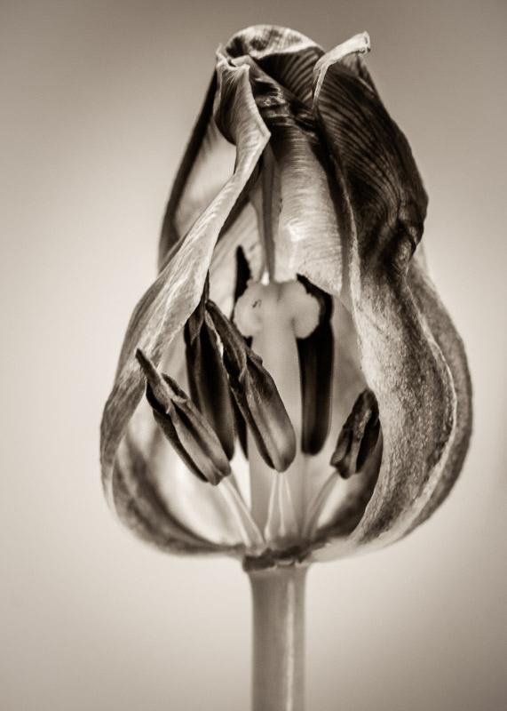 What Lies Beneath: Midlife Tulip