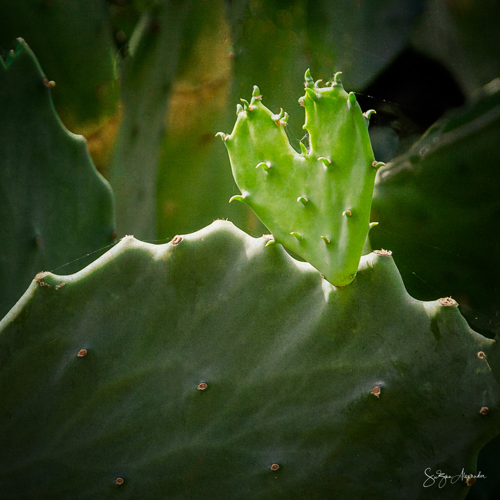 © 2018 SuZan Alexander.   Cactus Heart.   Digital Photography.