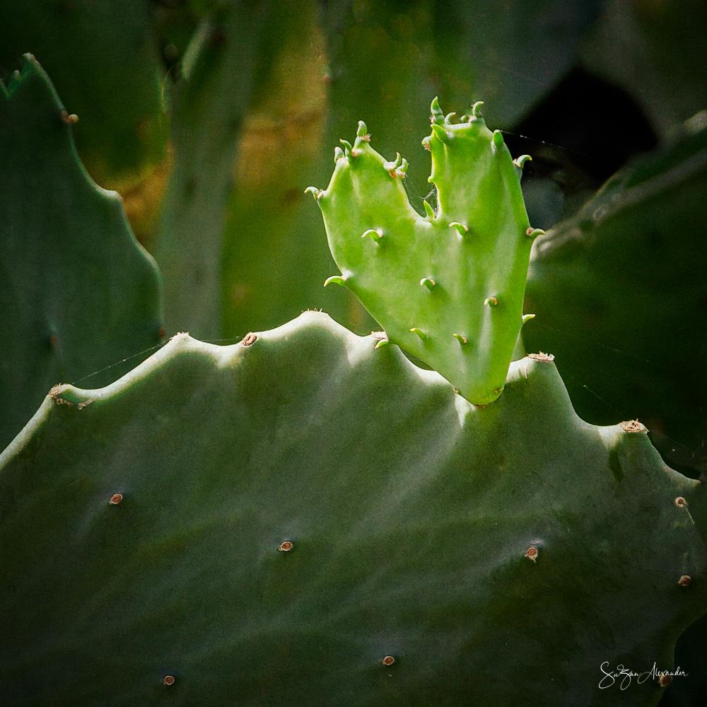 © 2018 SuZan Alexander.   Cactus Heart.   Digital Photography.
