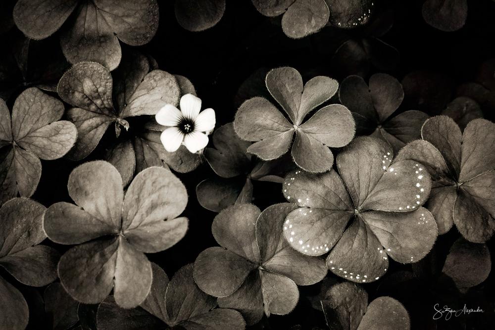 © 2019 SuZan Alexander.   Wood Sorrel BW.   Digital Photography.