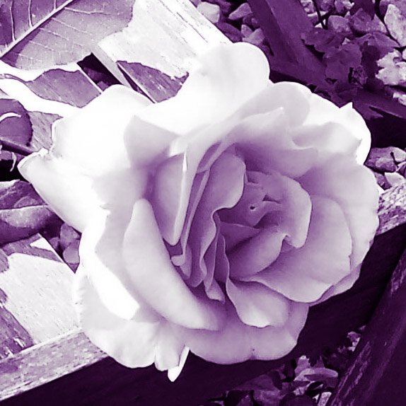 The Ta-Da Rose.jpg
