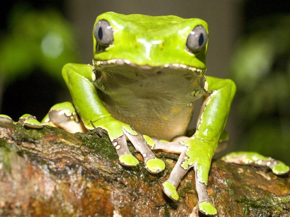 kambo frog.png