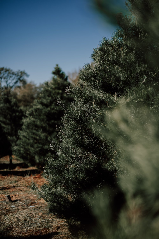 Christmas Trees at Weaver Gardens.jpg