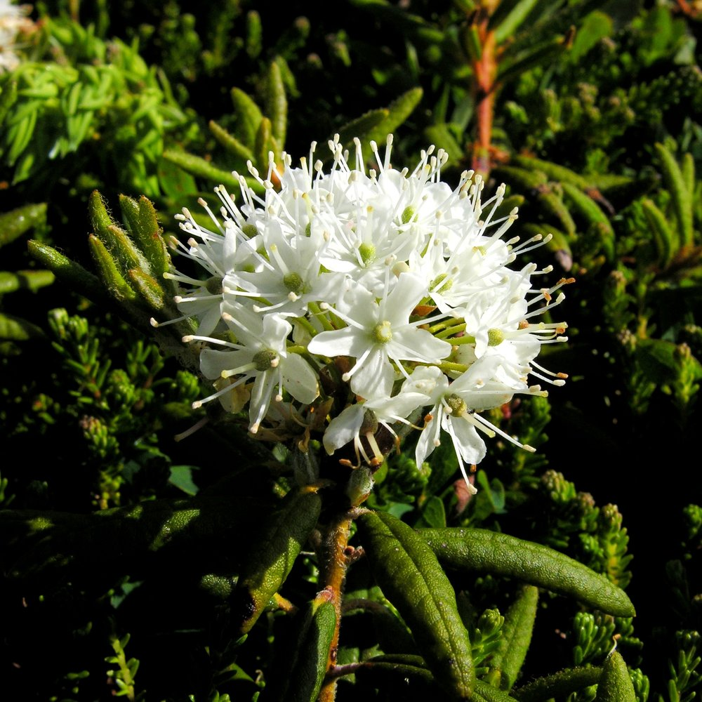 TB-Labrador-Tea-Rhododendron-groenlandicum-July-2010_3.jpg