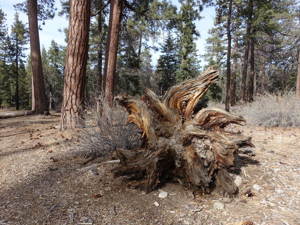 Dead Tree - San Bernardino National Forest