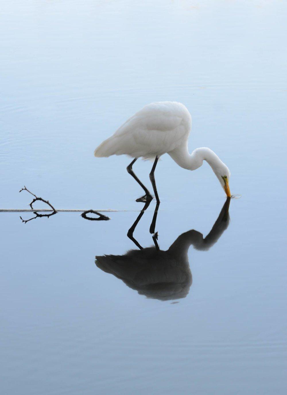 Peace Egret
