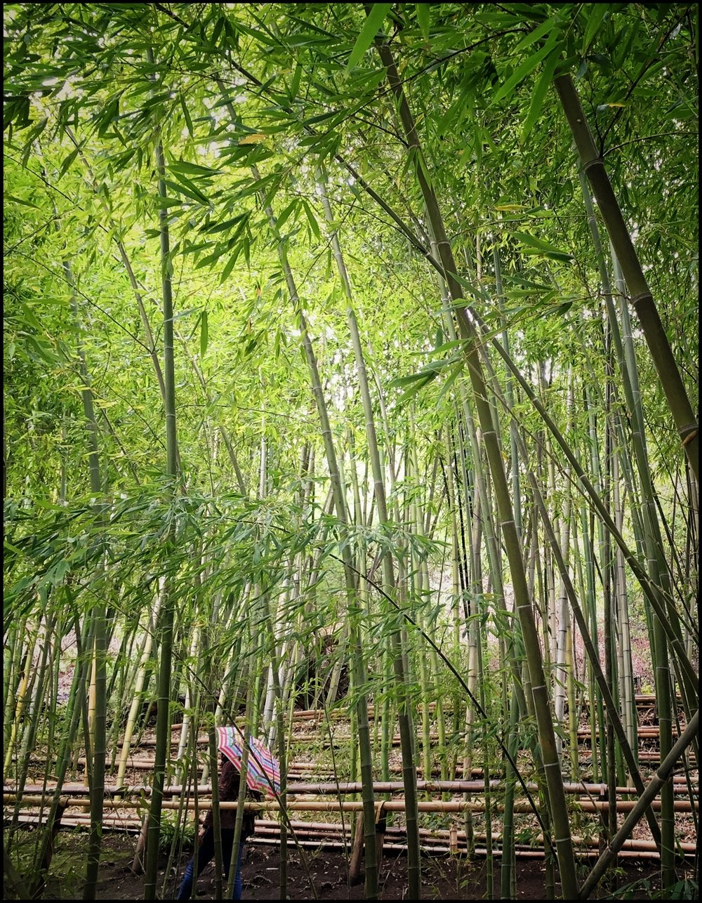 Umbrella in bamboo grove by Becky Jaffe.jpeg