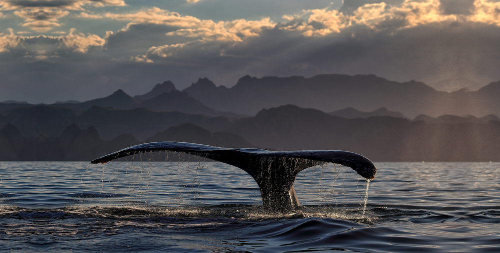 Whale-tail.png