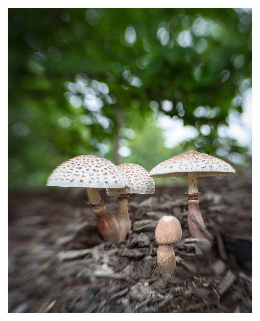 Mushrooms at Cox Arboretum MetroPark - Nikon D750 w/Lensbaby Sol 45 lens