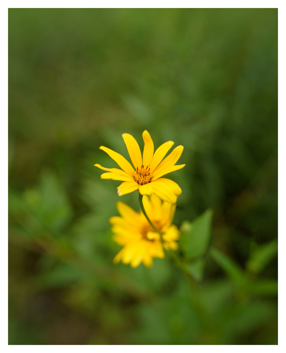 Unknown Flower at Cox Arboretum - Nikon D750 w/Lensbaby Sol 45 lens