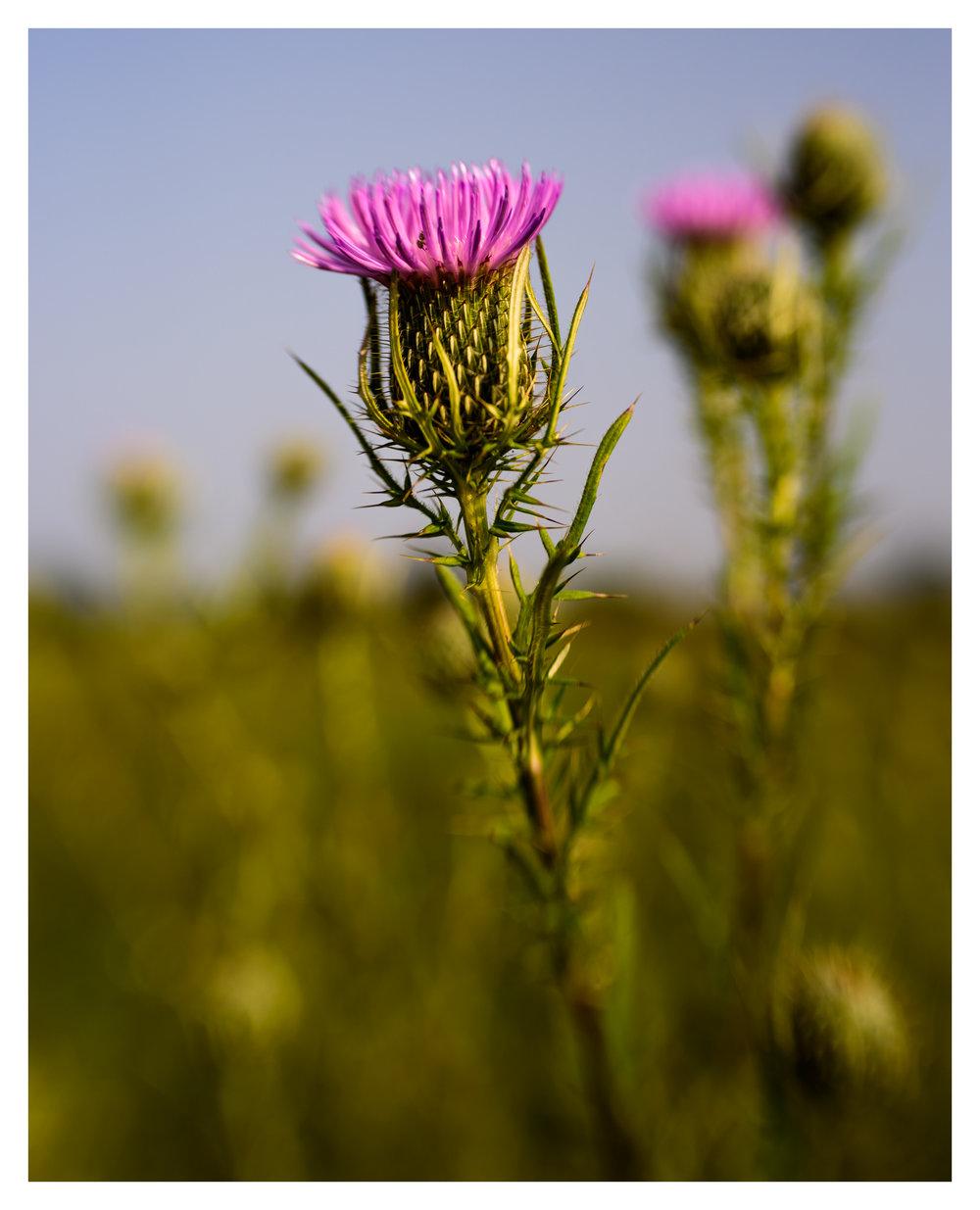 Thistle at Twin Creek Metropark - Nikon D750 w/Lensbaby Sol 45 lens