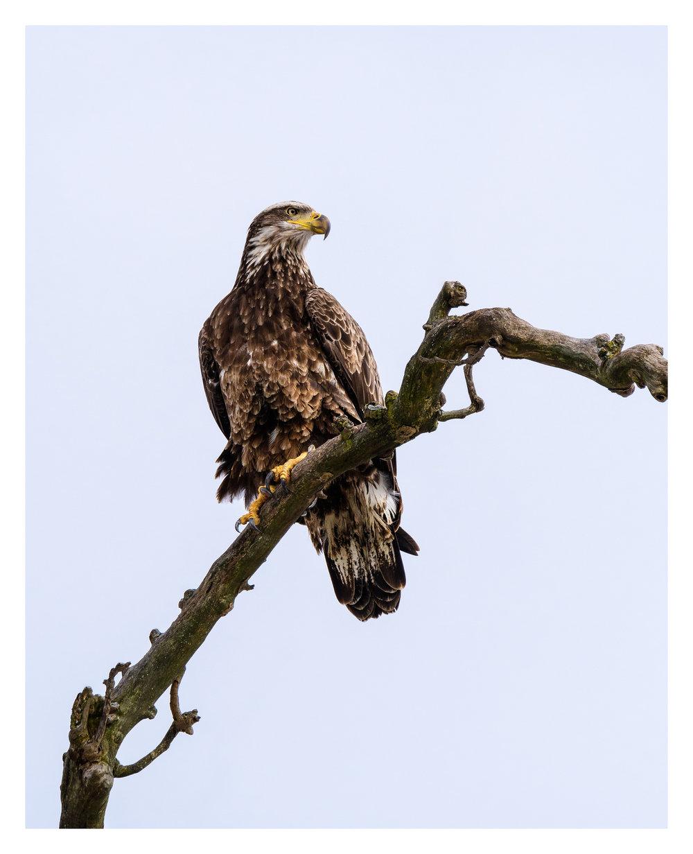 Juvenile Bald Eagle - Nikon D500 w/Tamron 150-600mm lens