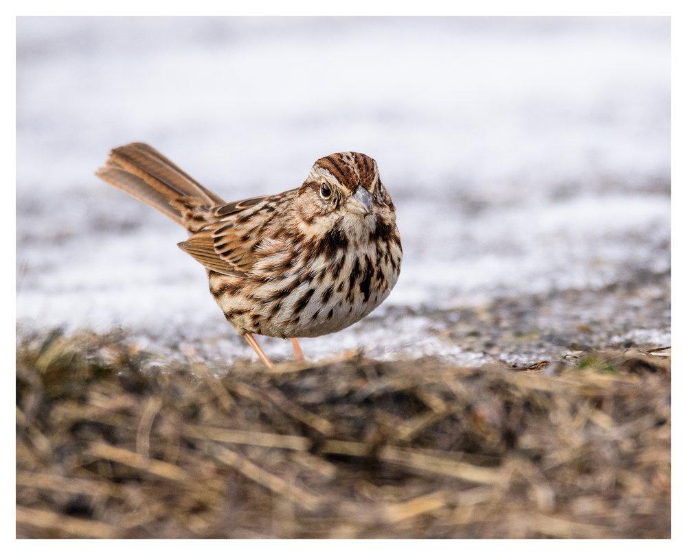 Song Sparrow- Nikon D500 w/Tamron 150-600mm lens