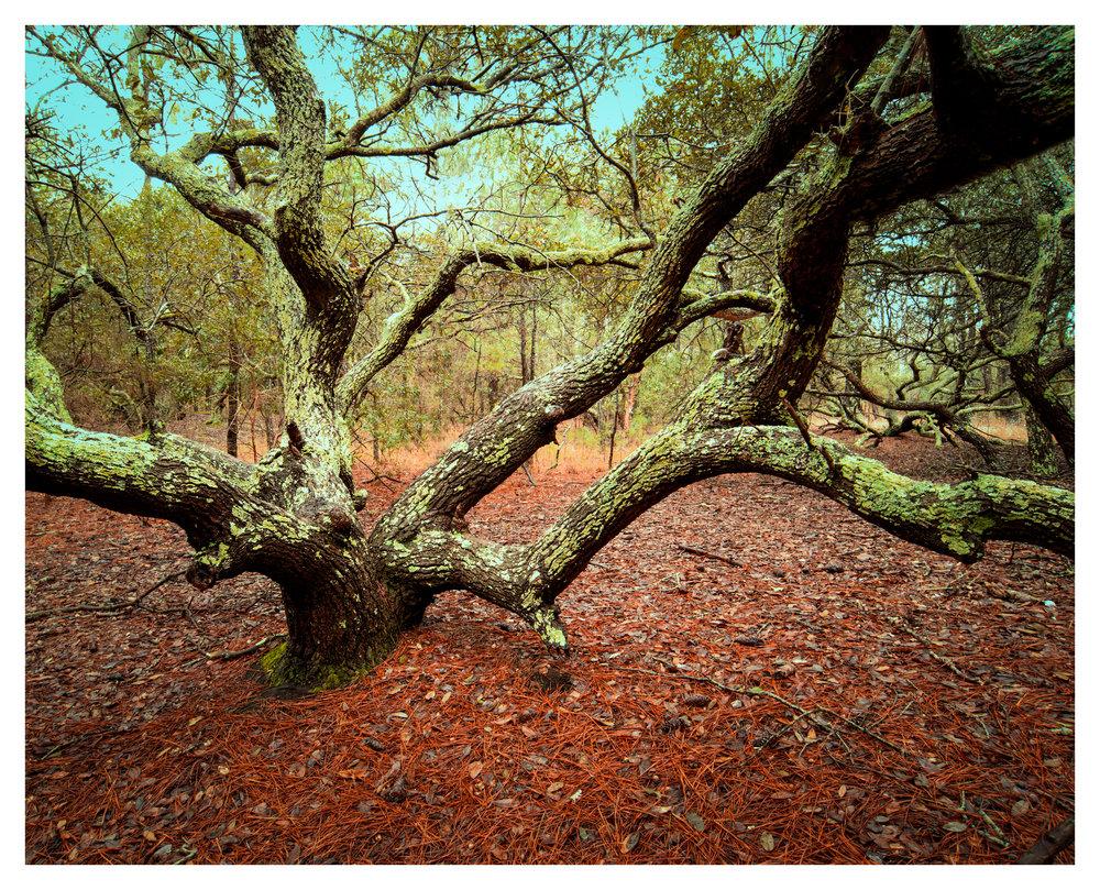 Tree at Currituck Banks Preserve - 7 image HDR stack