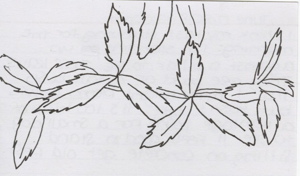 June 17, 2018 12:00 PM - I think my last drawing for the morning. I'm standing up against a pillar to see these leaves. They are part of a tall bush that I think might bloom blowers but hasn't yet. It's too high of a vantage point for a small dog to see. It geels good to stand. Sitting on concrete gets old fast.