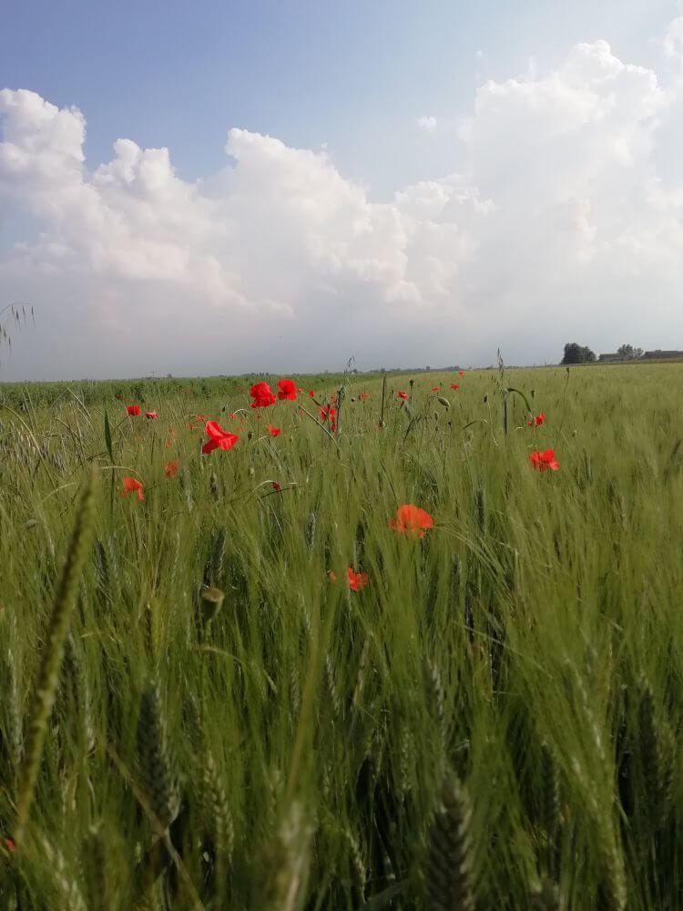 Campi di grano - Mirandola