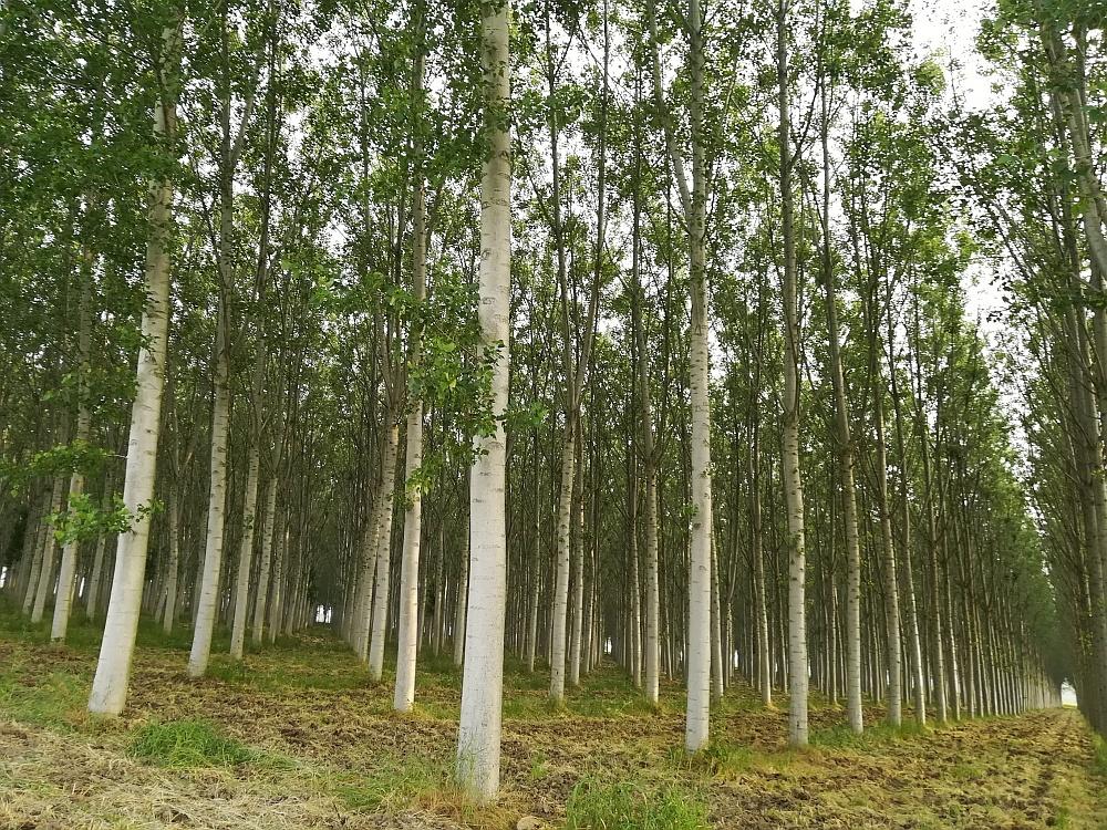 Arboricoltura da legno - Cavezzo
