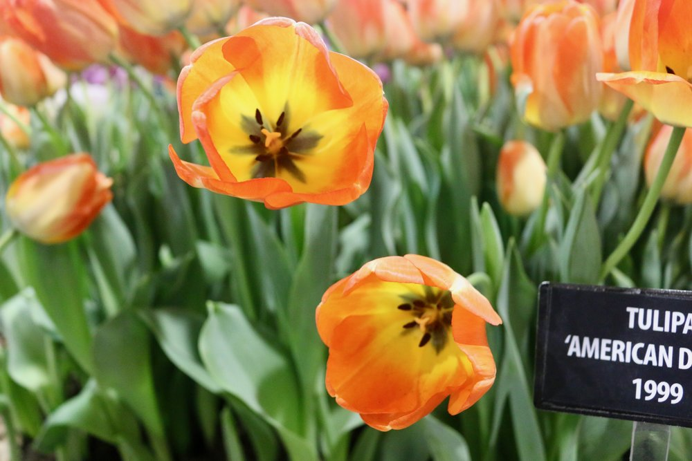 Tulips on Fire. Philadelphia Flower Show, March 2019. Kristen Ghodsee