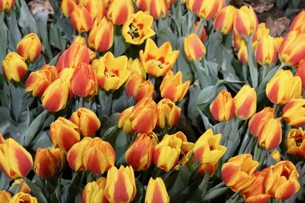 The Solidarity of Tulips. Philadelphia Flower Show, March 2019. Kristen Ghodsee