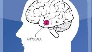 Amygdala.jpeg