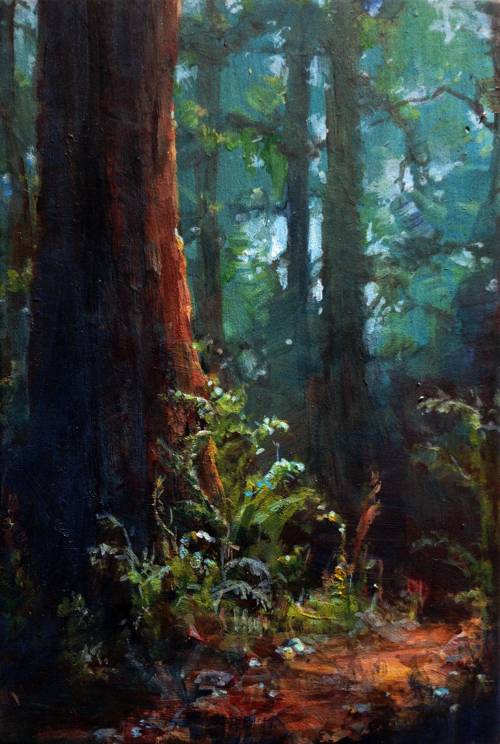 Redwoods in Big Basin