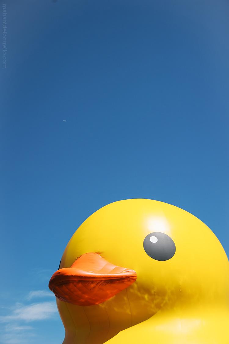 SF_Duck-1-2
