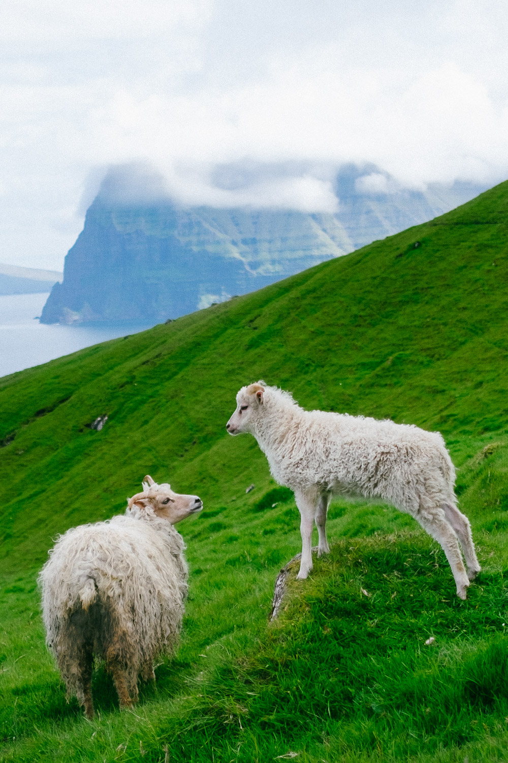 Sheep from the Faroe Islands