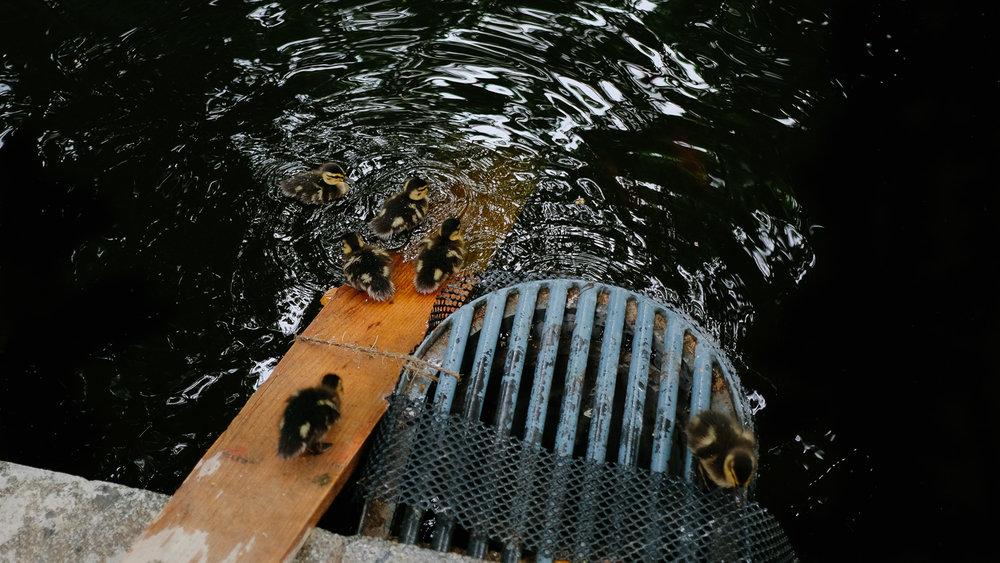 Ducks in the Fontaine De Marie De Médicis