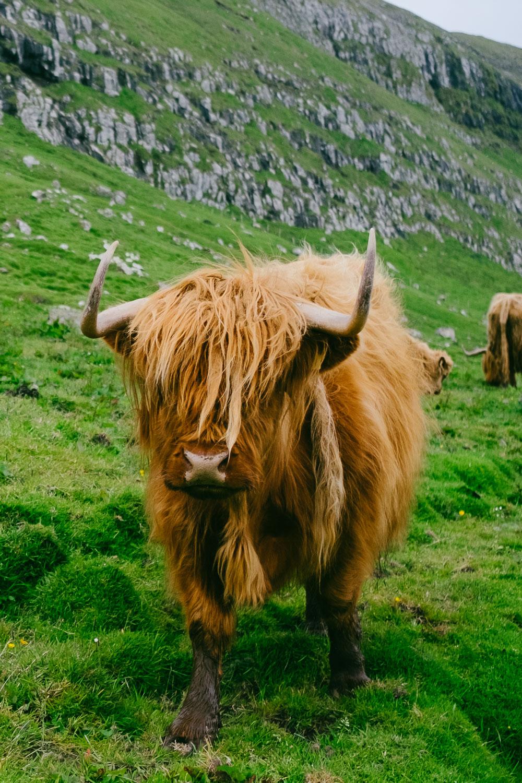 A Faroese cow in Kirkjubour