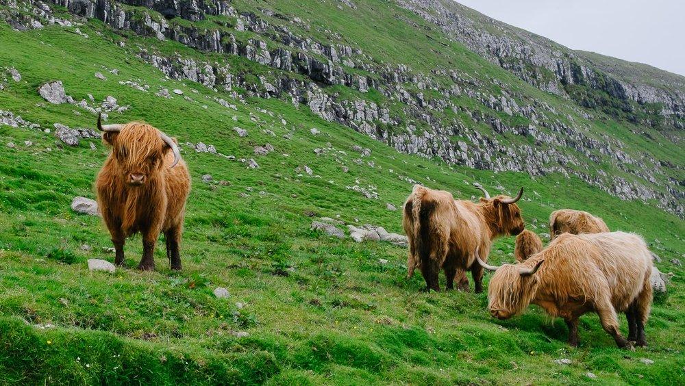 Faroese cows in Kirkjubour
