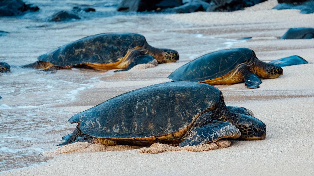 Turtles coming ashore at Ho'okipa Beach