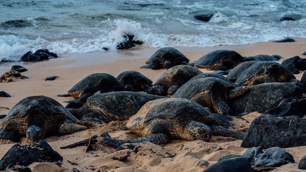Turtles resting on Ho'okipa Beach