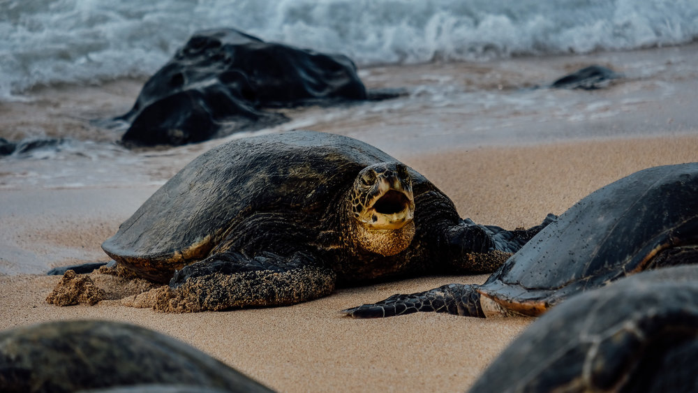 """Turtle saying """"hi"""" at Ho'okipa Beach"""