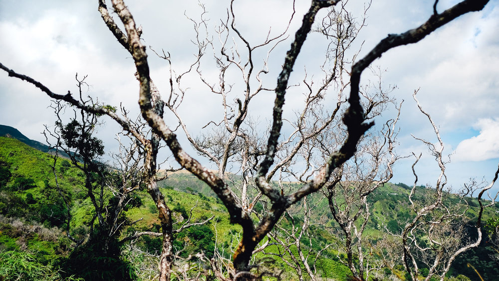 A tree on the Waihee Ridge Trail