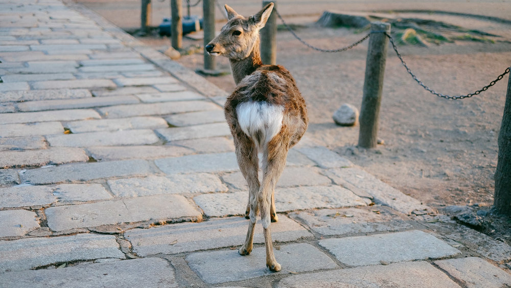 A deer roaming Nara Park