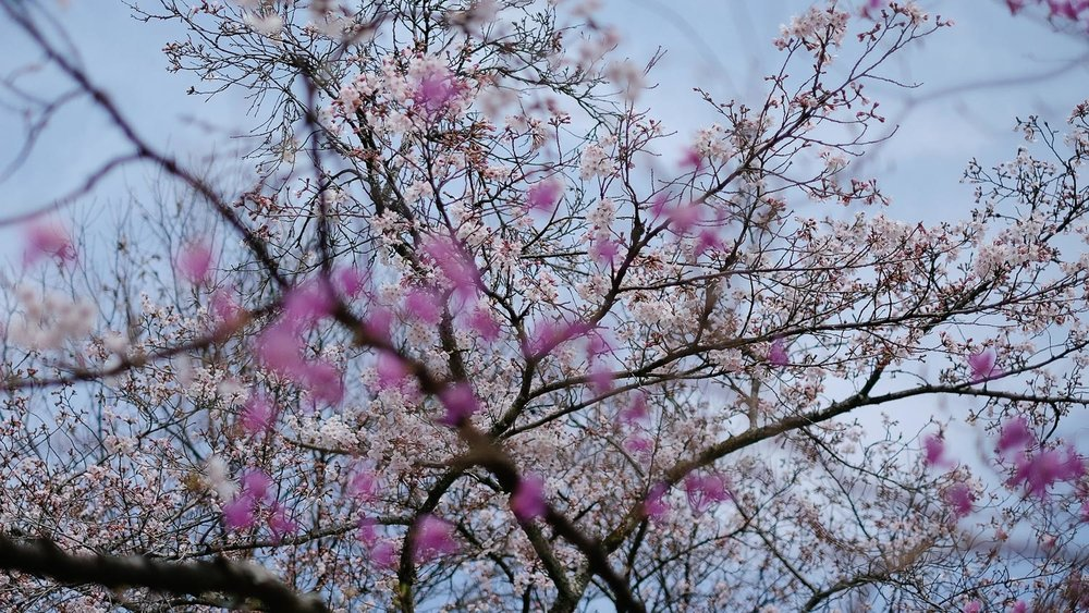 Cherry Blossoms in Arashiyama