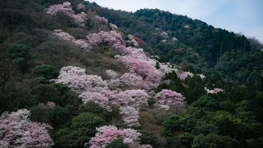 Cherry blossoms dot forest in Arashiyama