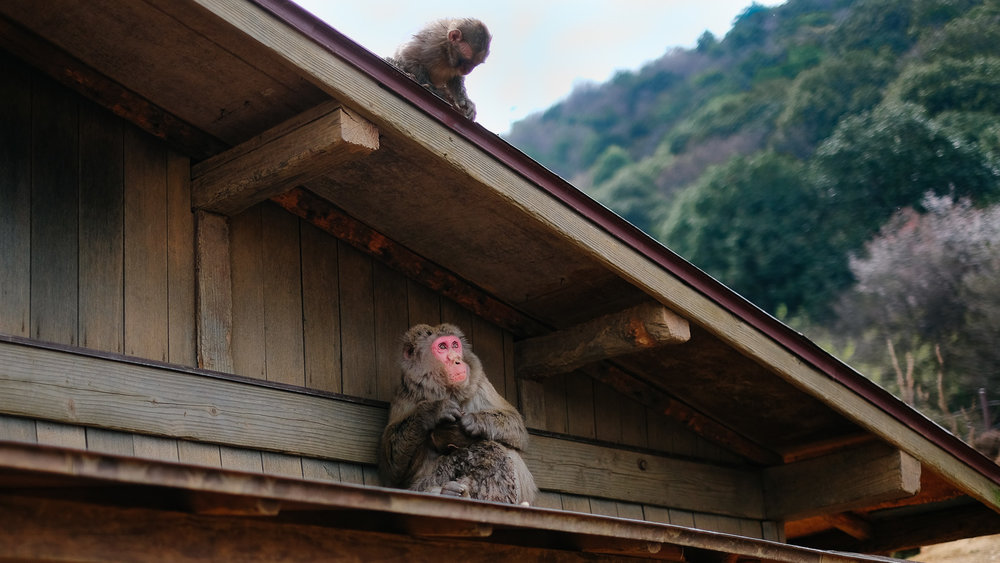 The Monkey Park in Arashiyama