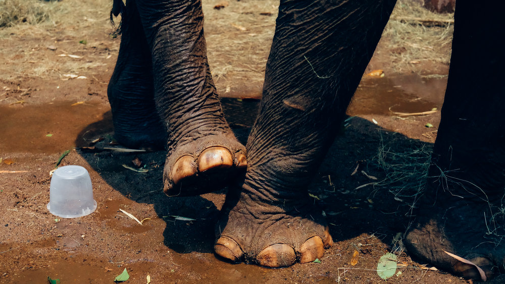 An elephant scratching her itch