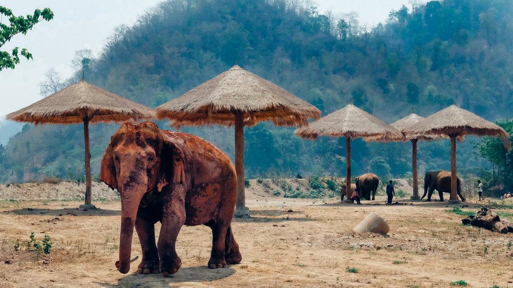 A rescued elephant roaming the Elephant Nature Park
