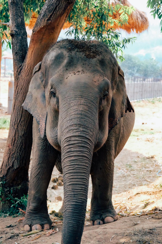 An elephant at the Elephant Nature Park